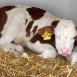 牛の赤ちゃん