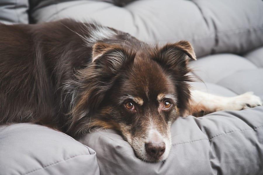 保護犬ヴィーガン